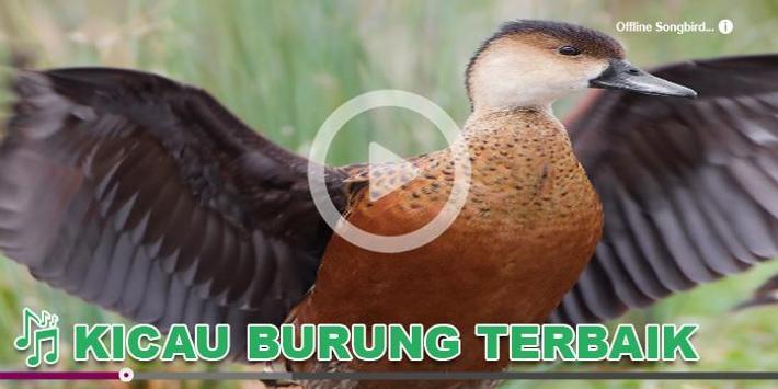 Kicau Burung Masteran Belibis 海報