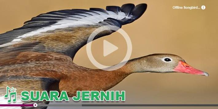 Kicau Burung Masteran Belibis 截圖 8