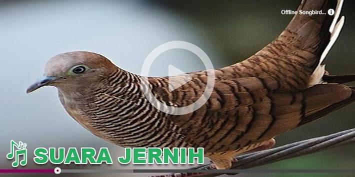 Kicau Burung Masteran Perkutut apk screenshot