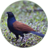 Coucal Sound Ringtones