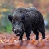 Wild boar sound & calls