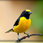 Install App android species of birds chirping APK new 2018