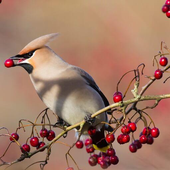 Bohemian Waxwing Wallpapers HD icon