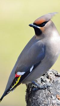 Bohemian Waxwing Wallpapers HD poster