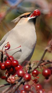 Bohemian Waxwing Wallpapers HD apk screenshot