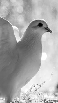 Doves Wallpapers HD apk screenshot