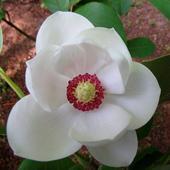 Magnolia Wallpapers HD icon