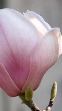 Magnolia Wallpapers HD screenshot 11