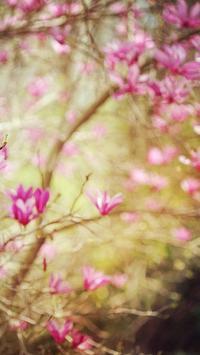 Magnolia Wallpapers HD screenshot 1