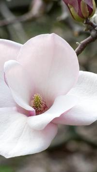 Magnolia Wallpapers HD screenshot 9