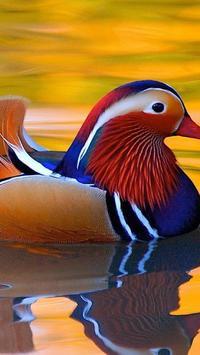 Mandarine Duck Wallpapers HD apk screenshot