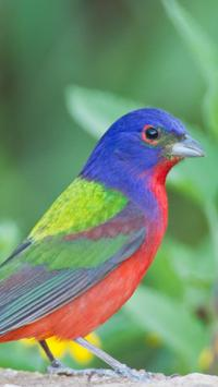 Painted Bunting Wallpapers HD poster