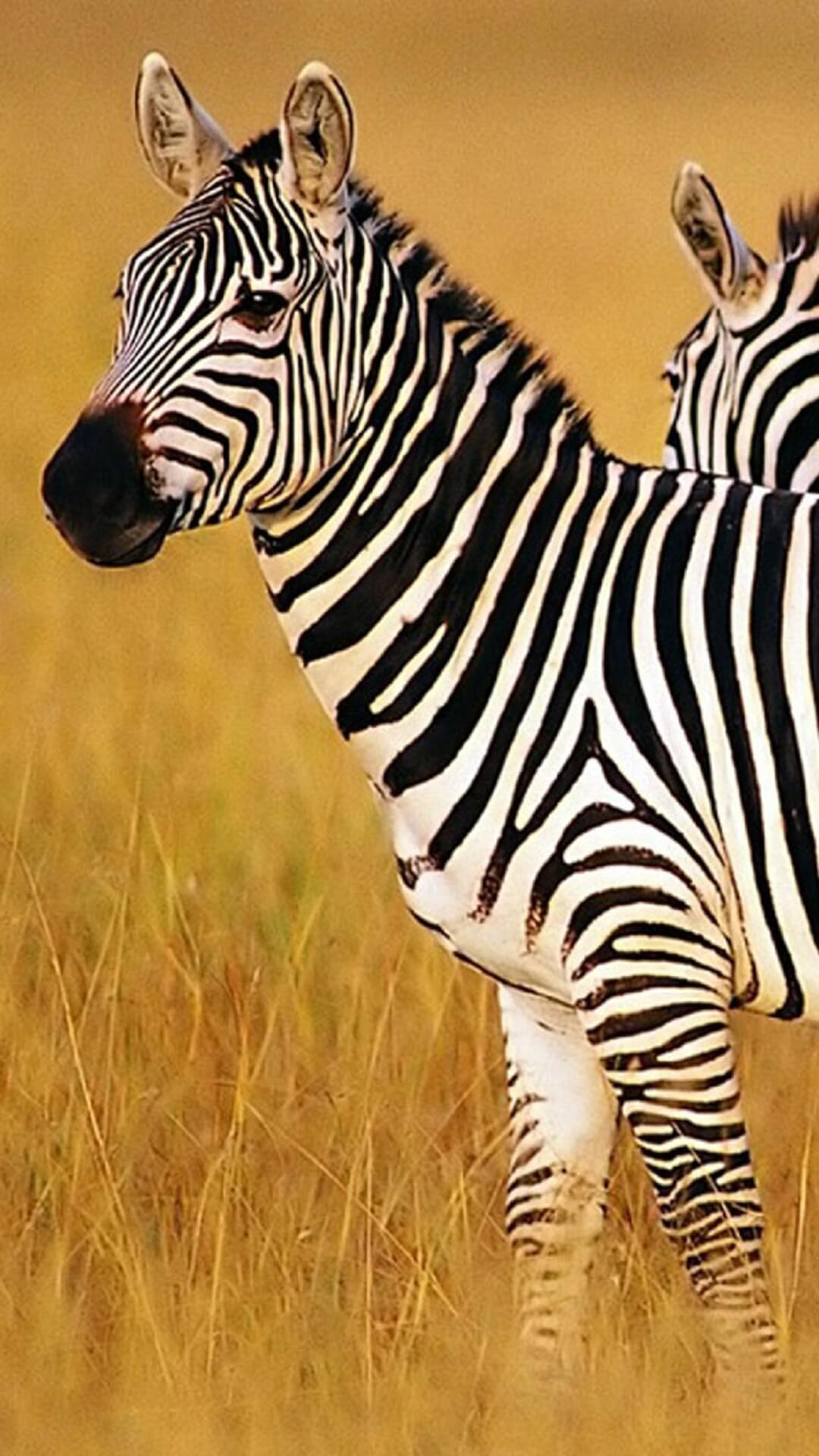 Zebra Wallpapers HD for Android - APK ...