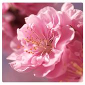 Beautiful Sakura LWP icon