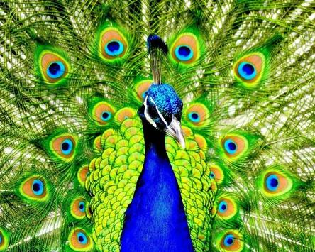 Simple Peacock Live Wallpapers captura de pantalla 4