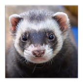 Ferrets Great Funny Home Pets icon