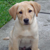 Train your Labrador Retriever simgesi