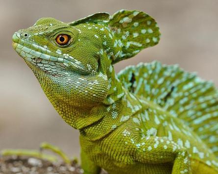 Chameleon Wild Animals Jigsaw Puzzles apk screenshot