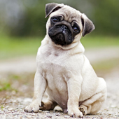 Pugs Jigsaw Puzzle icon