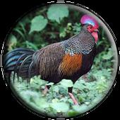 Suara Ayam Alas Mp3 Offline icon