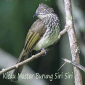 Kicau Master Burung Siri Siri For Android Apk Download