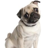 Pug Dog Wallpapers icon