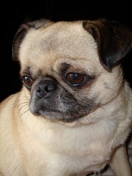 Pug Dog Wallpapers apk screenshot