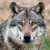 Wolf Barking Sound icon