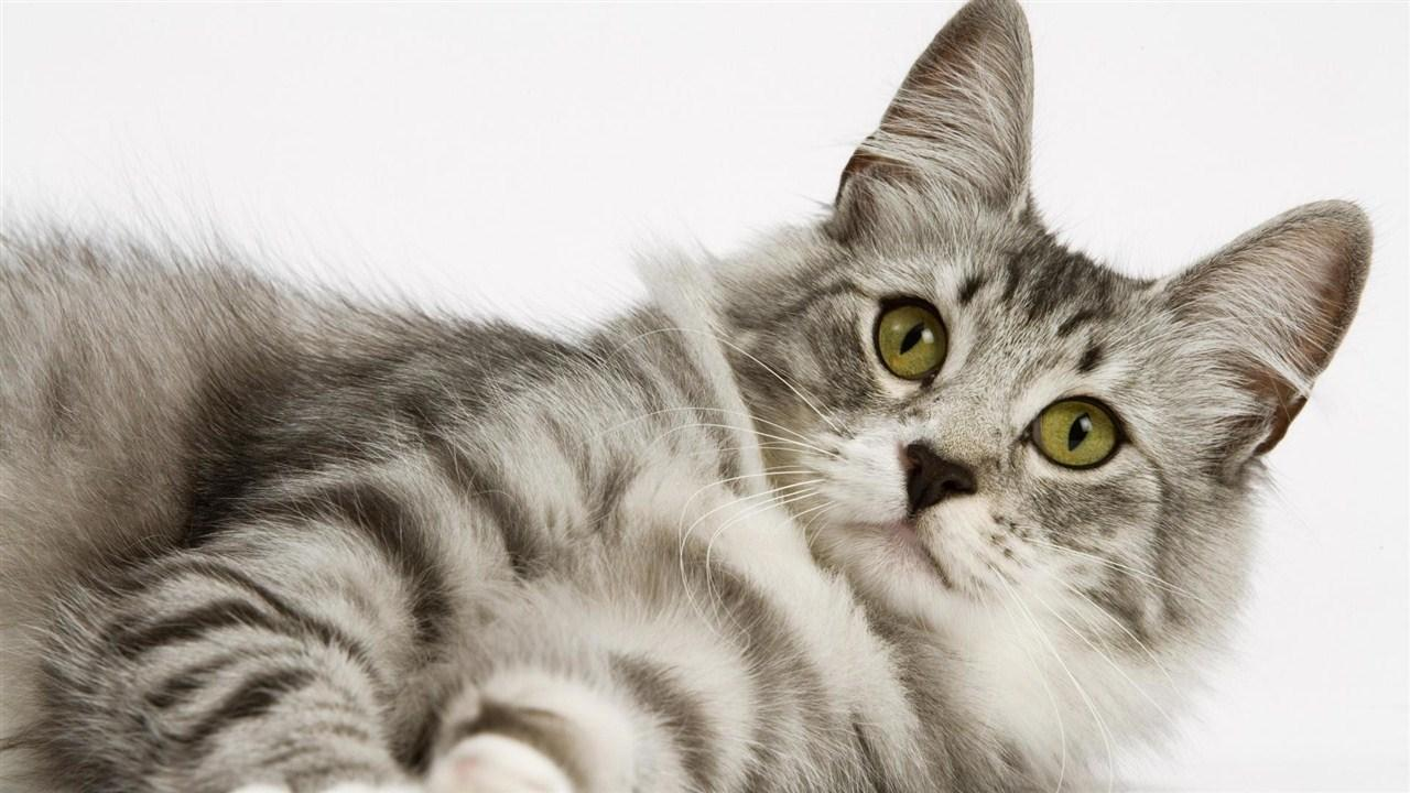 Cool Cat Hd Wallpapers For Android Apk Download