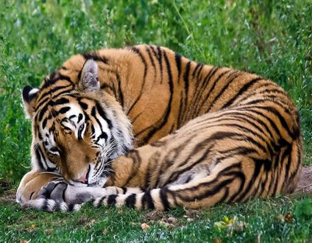 Tiger Photo Frame apk screenshot