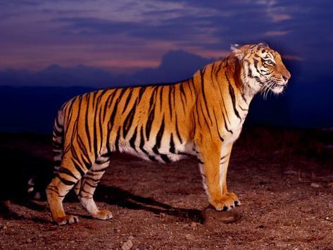 Tiger Wallpaper screenshot 6
