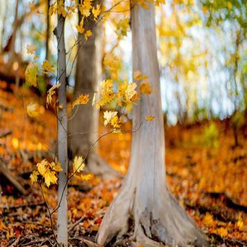 Autumn Leaf Live Wallpapers apk screenshot