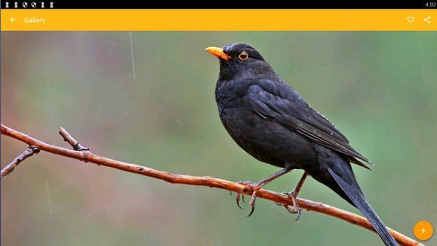 Common Blackbird Wallpaper screenshot 3