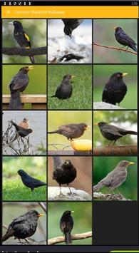 Common Blackbird Wallpaper poster