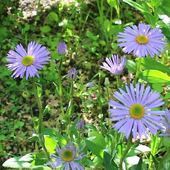 Beautiful blue chamomile icon