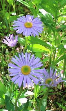 Beautiful blue chamomile poster