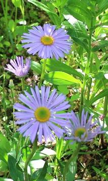 Beautiful blue chamomile apk screenshot