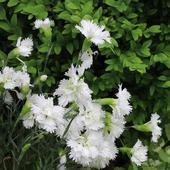 Beautiful blooming carnation icon