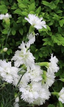 Beautiful blooming carnation poster