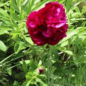 Beautiful blooming peony icon