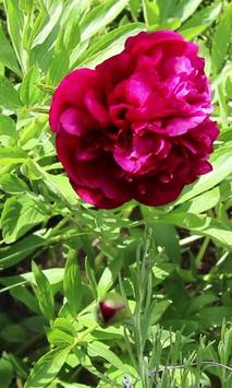 Beautiful blooming peony poster