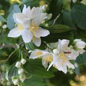 Beautiful jasmine flowers icon