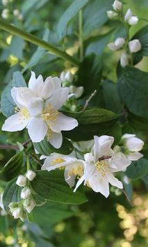 Beautiful jasmine flowers poster