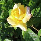 Beautiful morning rose icon