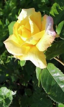 Beautiful morning rose poster