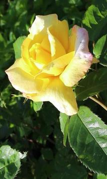 Beautiful morning rose apk screenshot