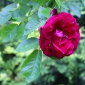 Beautiful rose in the green icon
