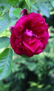 Beautiful rose in the green poster