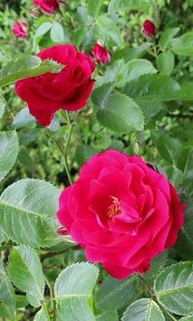 Beautiful roses branch poster