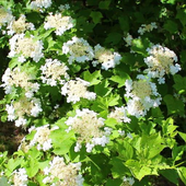Blooming viburnum branch icon